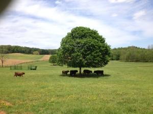 פרות בחווה של דייבי-יצורים חברותיים