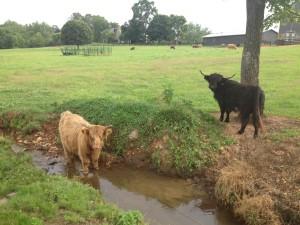 פרות שמחות בחווה של דייבי