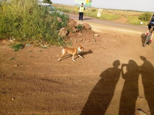 """כלב מי שרץ - הכלב הזה רץ במקצה ה-30, אך לטענת הרצים רץ לפחות 50 ק""""מ, כי מיהר קדימה וחזר אחורה מתוך התחשבות באלה שאינם כלבים."""