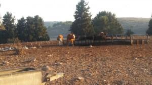 רוצה לראות פרות בשטח, ולא בצלחת! צילמה: יעל נשגב