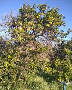 כפר מעש-עץ תפוזים